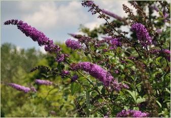Buddleja davidii 'Orchid beauty'