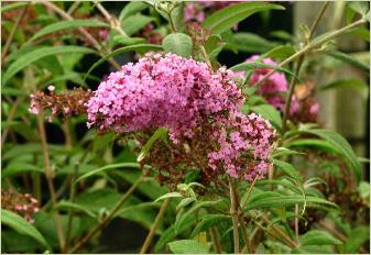 Buddleja davidii 'PInk Delight' close2