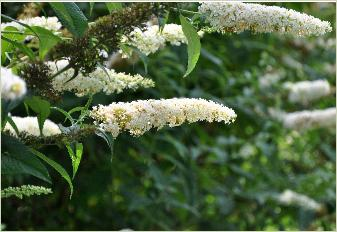 Buddleja davidii 'White Cloud'