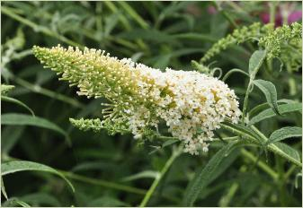 Buddleja davidii 'White Spread'