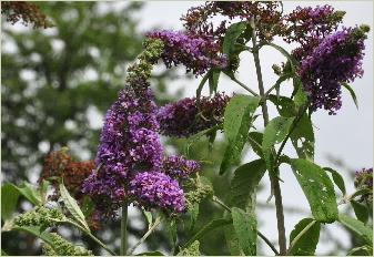 Buddlejajaponica2flowers