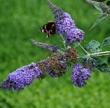 Buddlejakatriensterken3