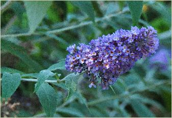 Buddleja 'Lochinch' bloem closeup vn