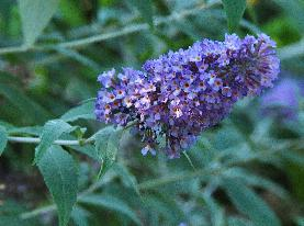 Buddleja 'Lochinch'bloem closeup vn
