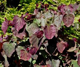 Cercis canadensis 'Forest Pansy ' juli 2012