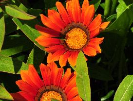 Gazania Kiss mix closeup vn