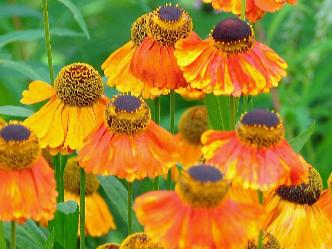 Helenium 'Sahins Early flowerer' closeup