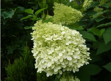 hydrangea paniculata limelight. Black Bedroom Furniture Sets. Home Design Ideas