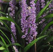 Liriope muscari 'Moneymaker' 3vn