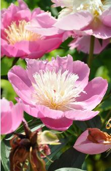 Paeonia-lactiflora-Bowl-of-Beauty