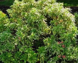Pieris japonica 'Flaming Silver' VN